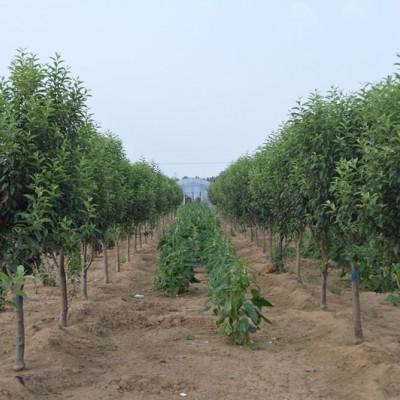 通康 海棠树价格哪家最低 选择通康就是选择了放心