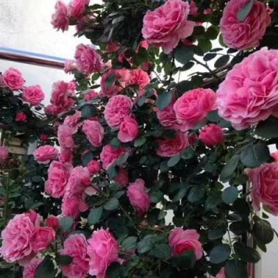 沈阳昌锦月季您身边的月季花园玫瑰花苗花卉园艺