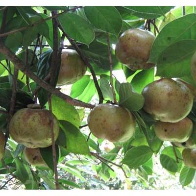 供应广西软枝油茶种子 玉林大红花油茶种子苗木基地