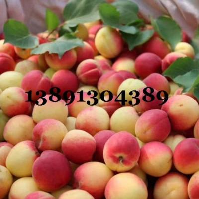 陕西丰园红杏基地价格,金太阳杏,凯特杏产地大量上市