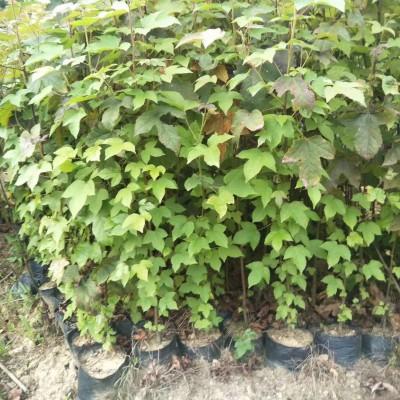 枫香袋苗,枫香袋苗基地,枫香袋苗种植,枫香袋苗价格