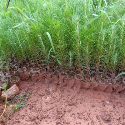 湿地松杯苗价格、营养杯湿地松苗、湿地松袋苗批发、湿地松基地