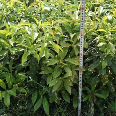 江西木荷袋苗,木荷袋苗基地,木荷袋苗种植,木荷小苗袋苗价格