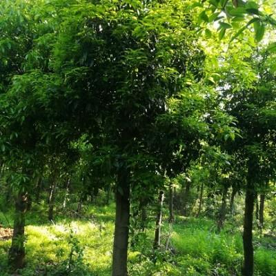 木荷全国低价 木荷基地批发 10-15公分木荷批发价格